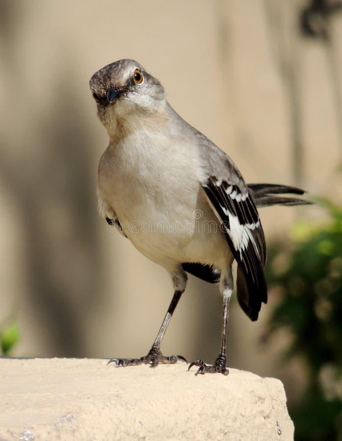 Uccello di derisione fotografie stock libere da diritti