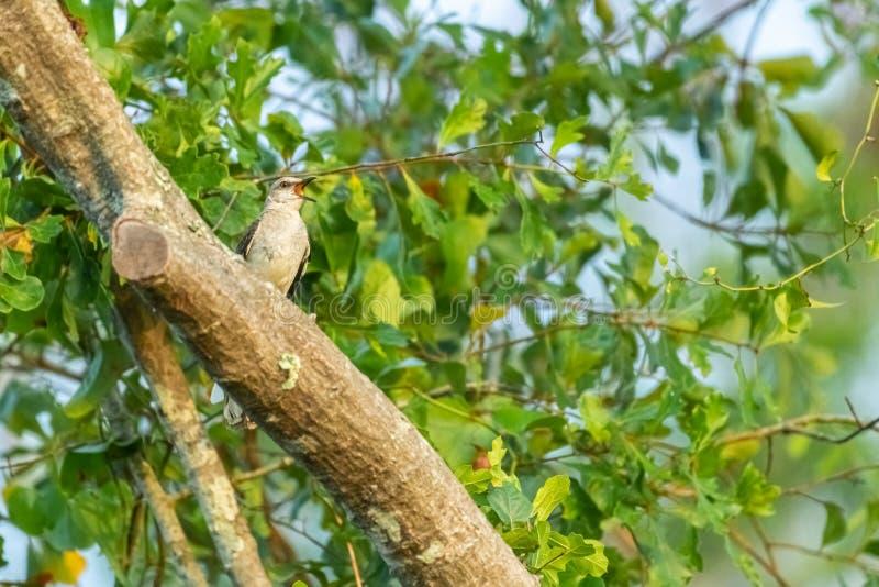 Uccello di derisione che canta nell'albero fotografie stock libere da diritti