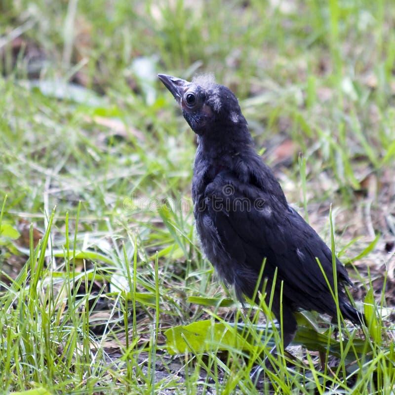 Uccello di derisione del bambino fotografia stock