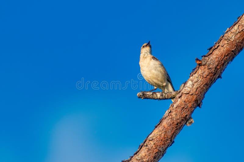 Uccello di derisione fotografia stock libera da diritti