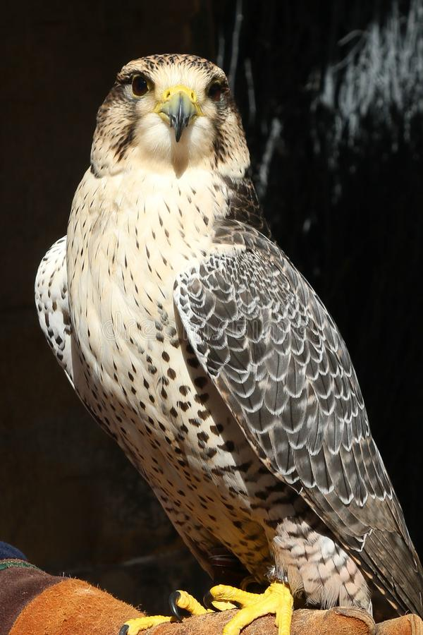Uccello di Eagle fotografia stock libera da diritti