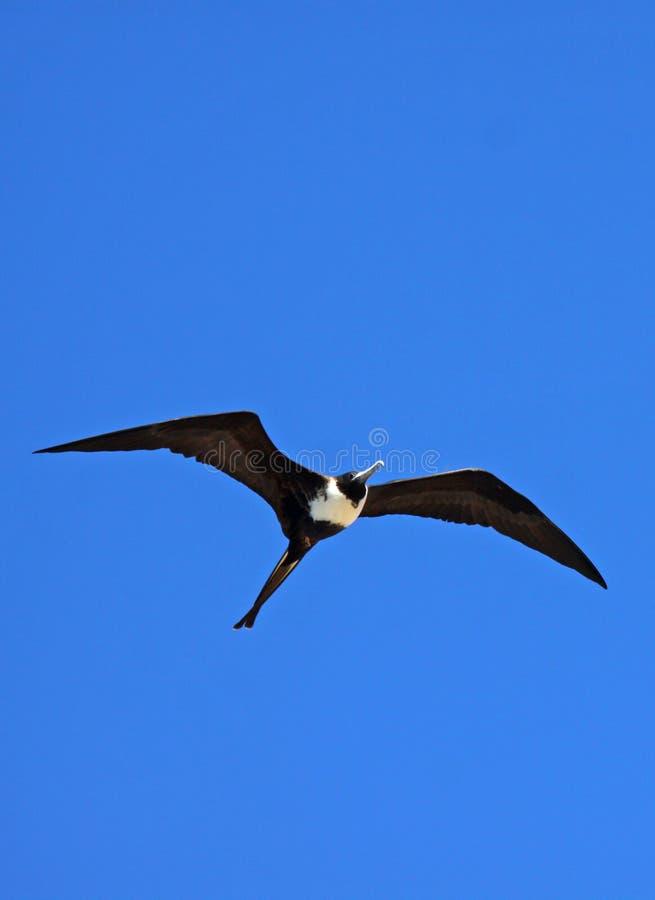 Uccello di fregata immagini stock libere da diritti
