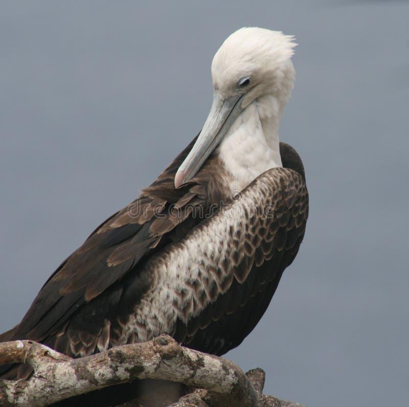 Uccello di fregata giovanile immagine stock