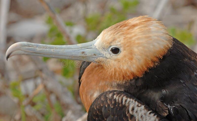 Uccello di fregata, isole Galapagos fotografie stock libere da diritti