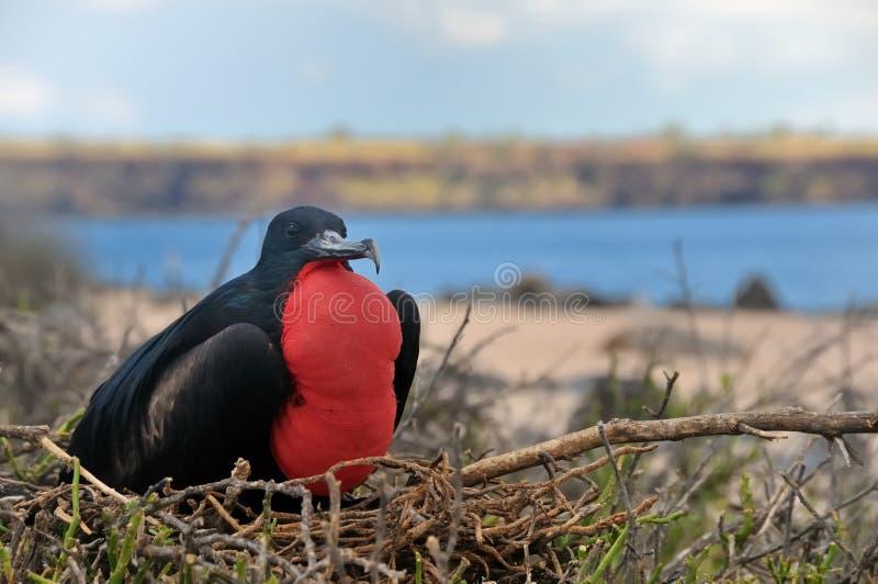 Uccello di fregata maschio nelle isole di Galapagos immagine stock libera da diritti
