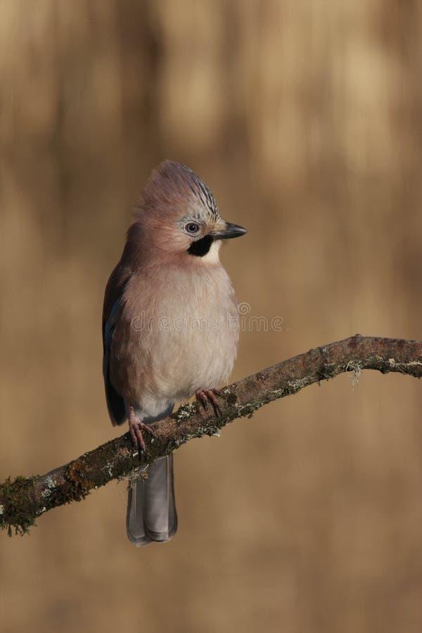 Uccello di glandarius di Jay Garrulus dell'europeo fotografie stock