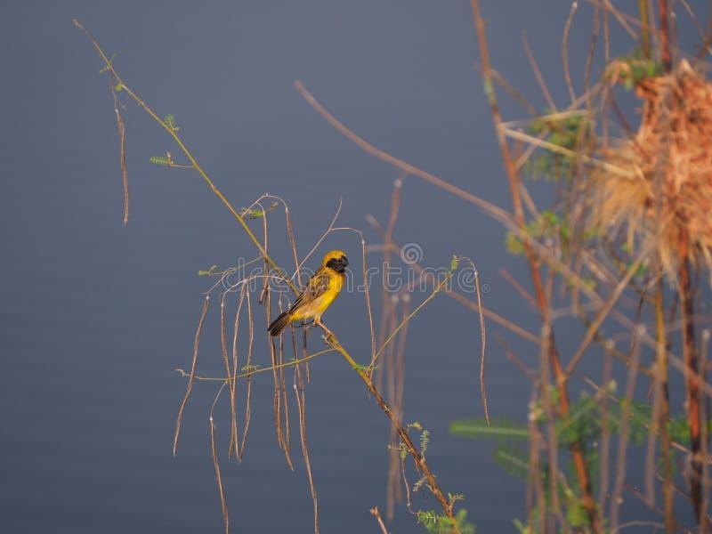 Uccello di incastramento immagine stock