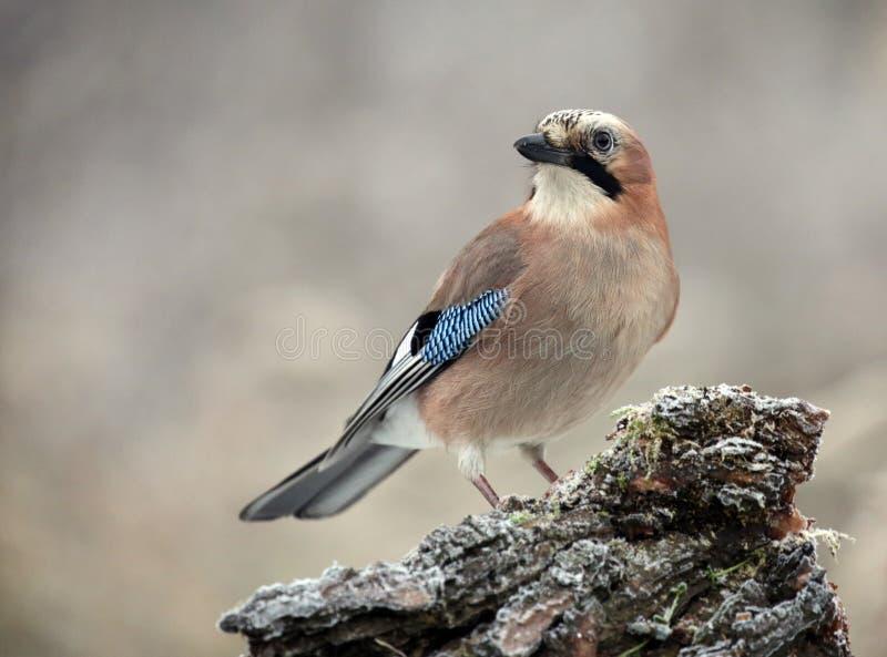 Uccello di Jay che si siede su un ramo fotografia stock libera da diritti