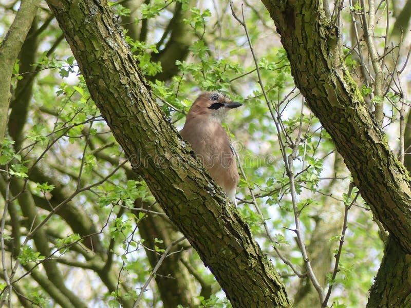 Uccello di Jay sul ramo di albero immagine stock