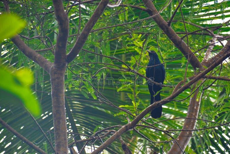 Uccello di Koel dell'asiatico fotografia stock