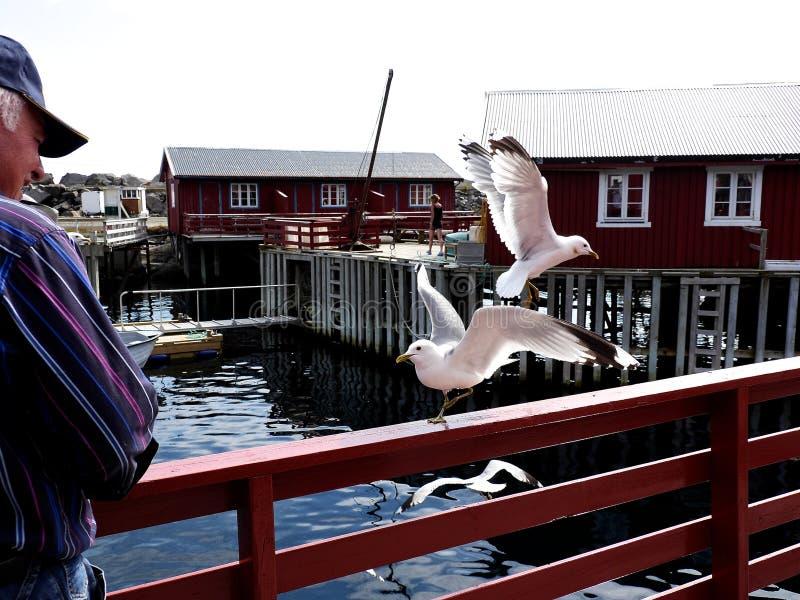 uccello di mare del gabbiano di volo del gabbiano Europa settentrionale, uccelli d'alimentazione dell'uomo fotografie stock libere da diritti