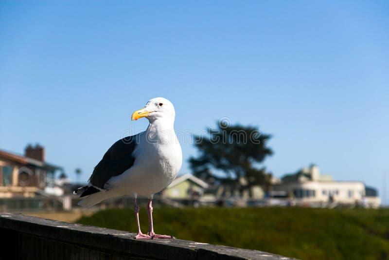 Uccello di mare sul litorale della California fotografie stock