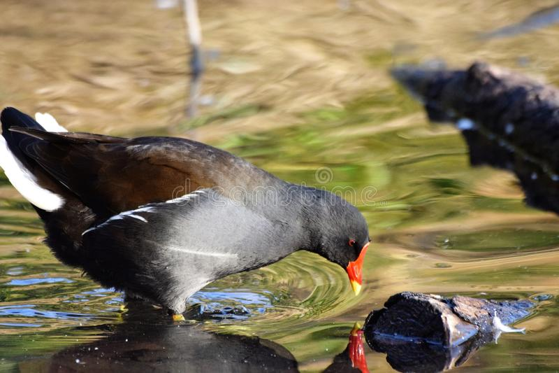 Uccello di Moorthen fotografie stock
