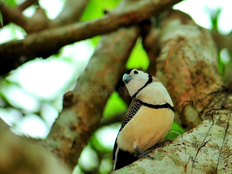 Uccello di Owl Finch sul ramo di albero immagine stock libera da diritti