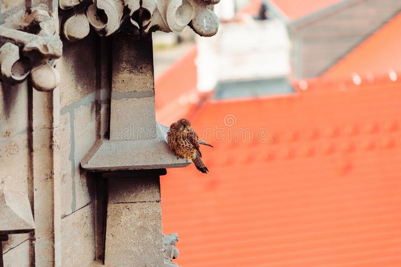 Uccello di preda in città fotografia stock