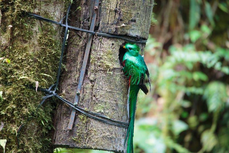 Uccello di quetzal Monteverde selvaggio Costa Rica fotografia stock libera da diritti