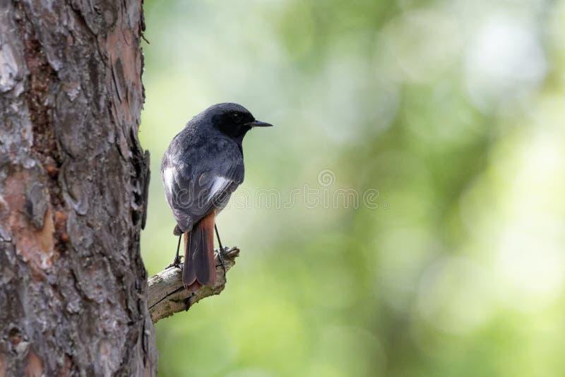 Uccello di Redstart su un ramo Ucraina fotografia stock libera da diritti