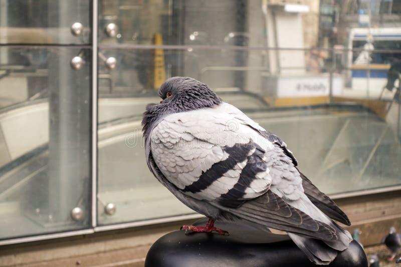 Uccello di riposo del piccione del primo piano fotografia stock libera da diritti