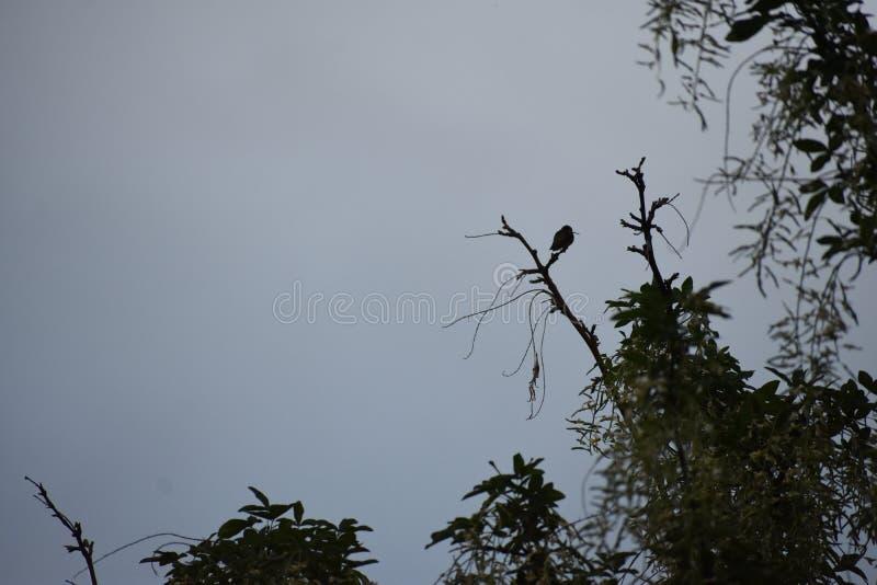 Uccello di riposo di ronzio nella cima dell'albero fotografia stock libera da diritti
