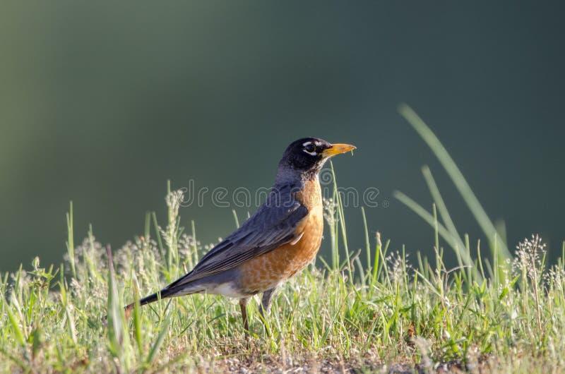 Uccello di Robin dell'americano, Monroe, Georgia U.S.A. immagini stock libere da diritti