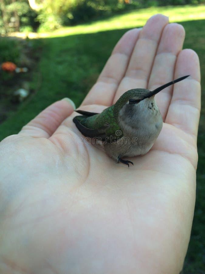 Uccello di A (ronzare) nella mano immagini stock libere da diritti