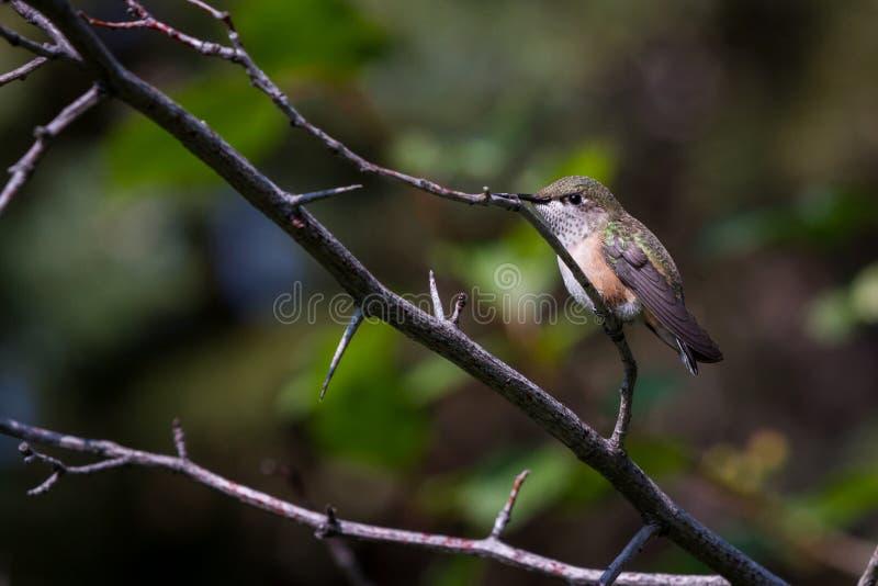Uccello di ronzio della montagna immagini stock libere da diritti