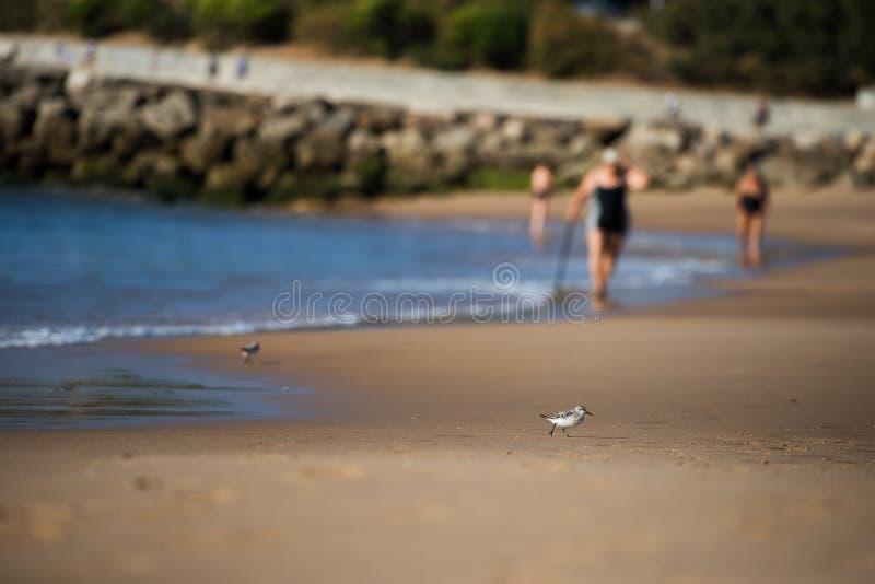 Uccello di Sanderling, un tipo di piovanello, in sabbia bagnata della spiaggia immagine stock libera da diritti