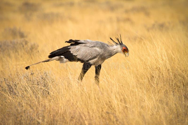 Uccello di segretaria immagini stock