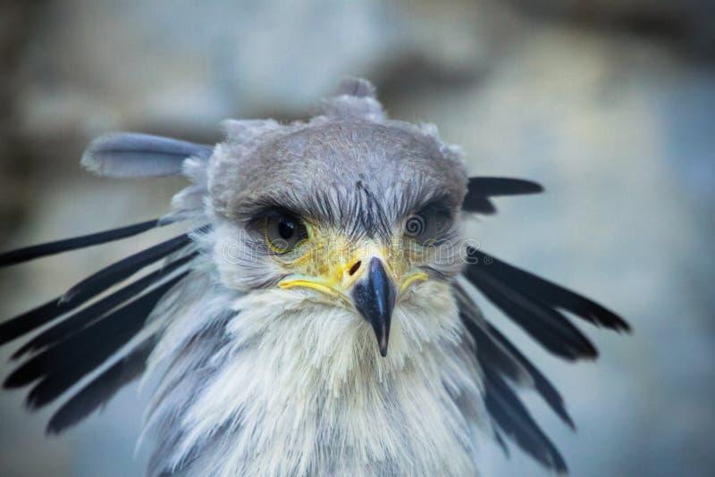 Uccello di segretario fotografia stock