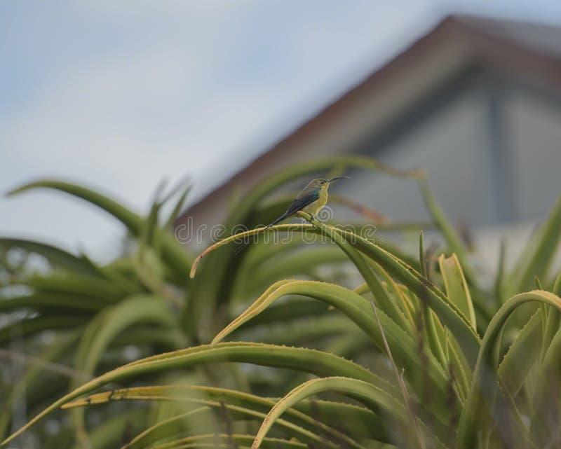 Uccello di Sun della malachite sulla pianta dell'aloe fotografie stock