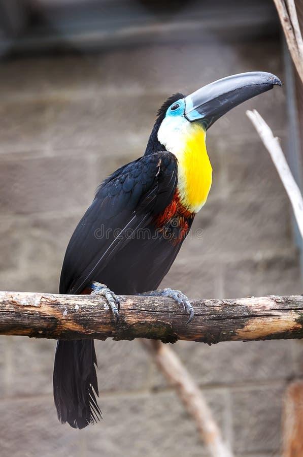 Uccello di Tukan nello zoo fotografia stock