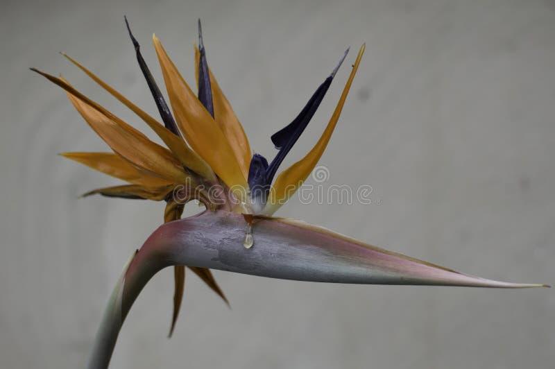 Uccello di un colpo raro del fiore di paradiso di uno che grida fotografie stock libere da diritti