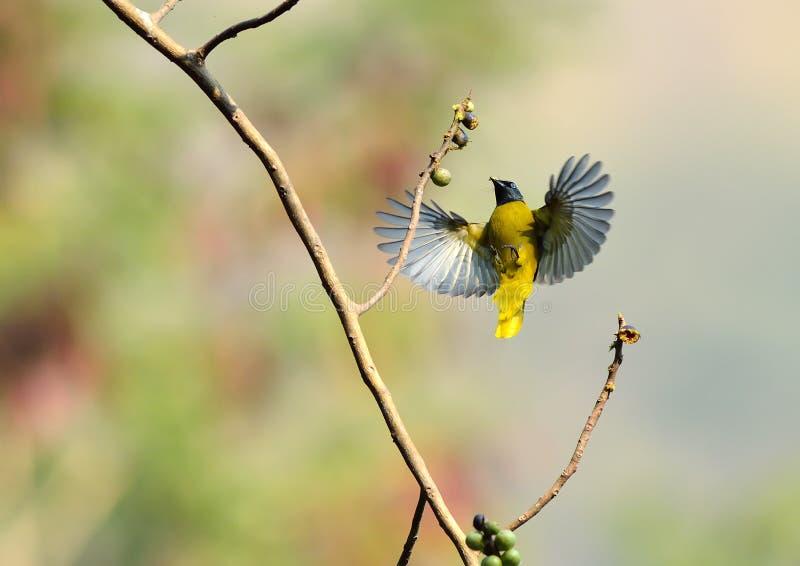 Uccello di volo in natura fotografia stock