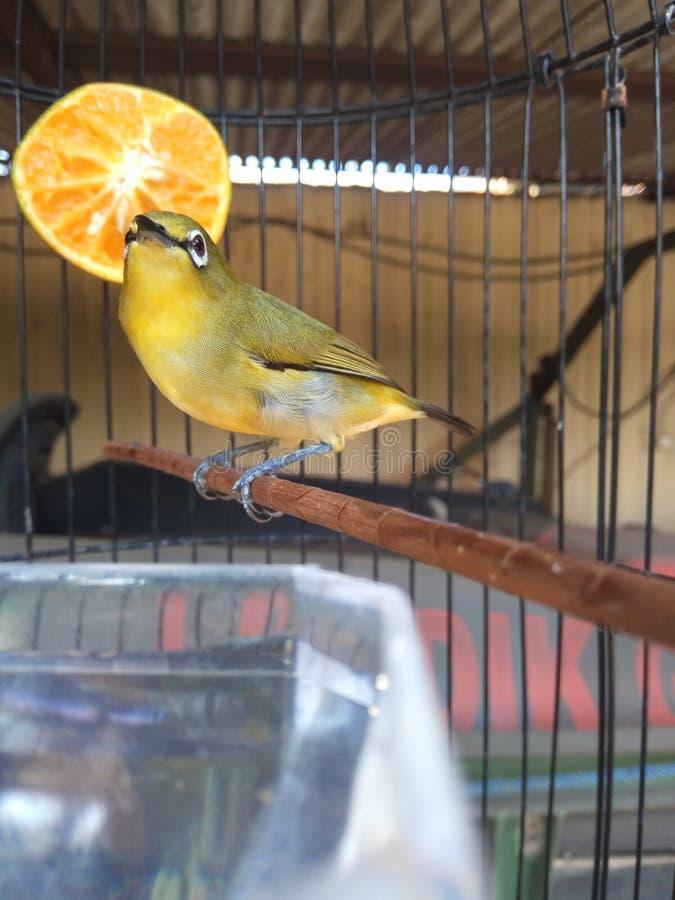 Uccello di Zosterops immagine stock