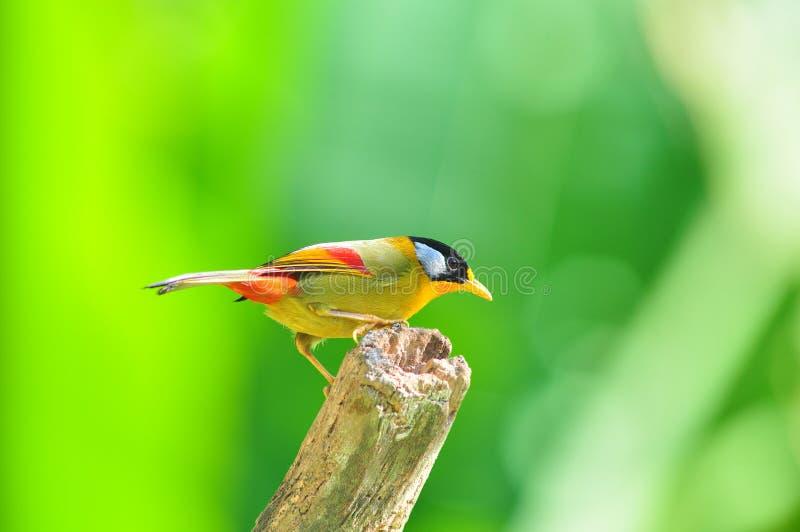 Uccello dorato (Mesia Argento-eared) fotografia stock