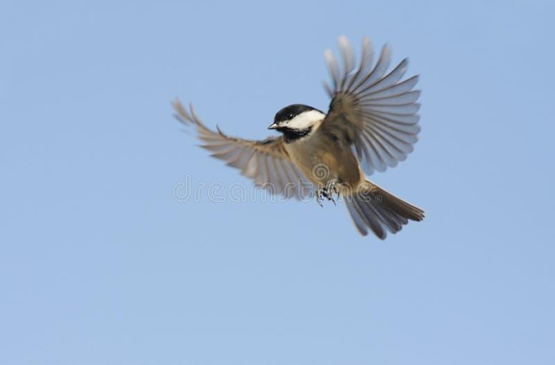 Uccello durante il volo fotografie stock