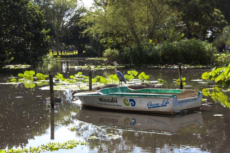 Uccello e barca del gambo sullo stagno nei giardini di Batanical fotografie stock