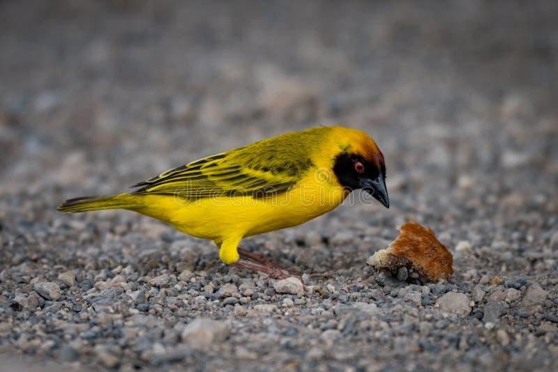 Download Uccello E Crosta Mascherati Del Tessitore Su Ghiaia Fotografia Stock - Immagine di pane, uccello: 117975348