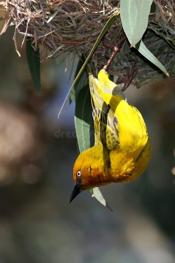 Uccello e nido del tessitore del capo fotografie stock libere da diritti