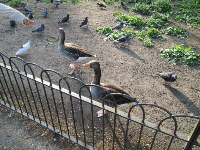 Uccello e piccioni immagini stock libere da diritti