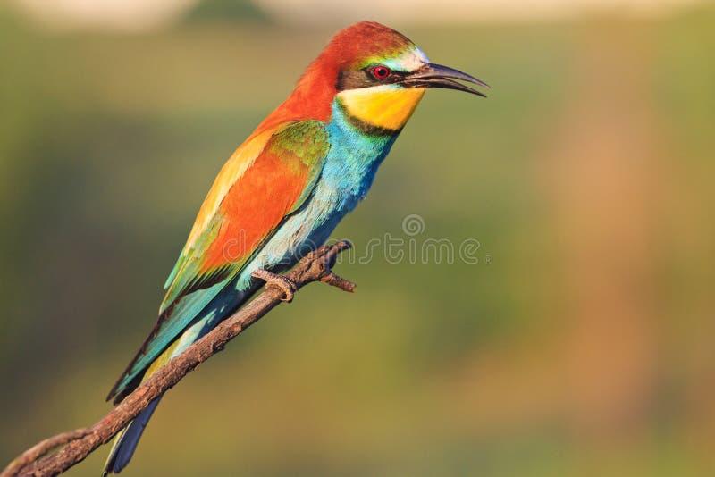 Uccello esotico nell'est con le piume magnifiche immagine stock libera da diritti