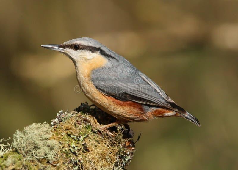 Uccello euroasiatico di europaea del Sitta della sitta fotografie stock libere da diritti