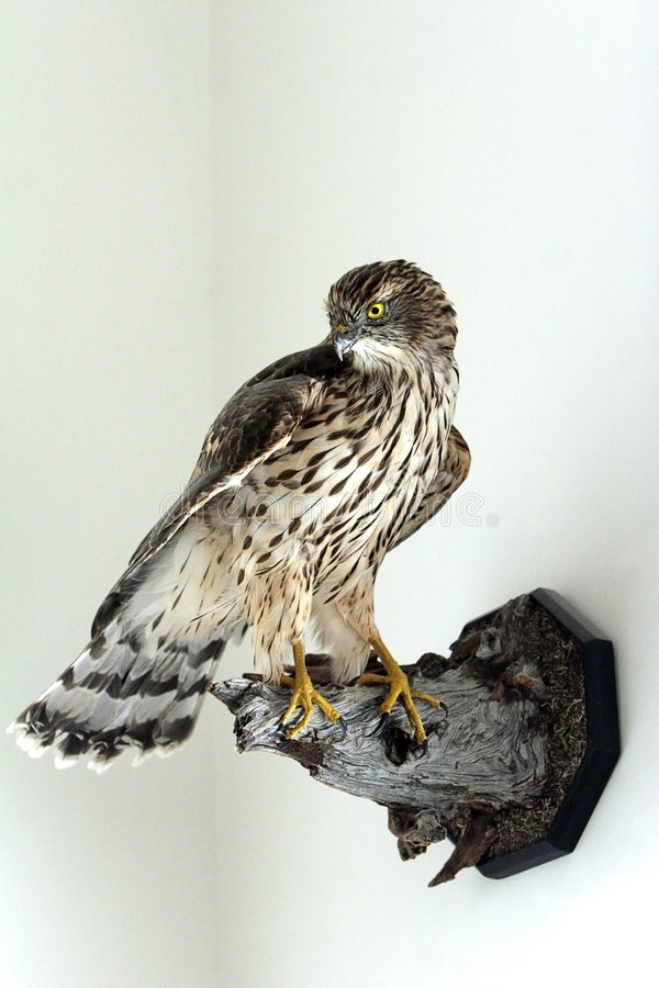 Uccello farcito immagine stock