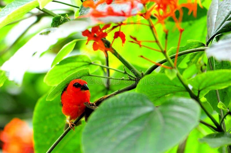 Uccello & farfalla fody rossi del Madagascar immagine stock