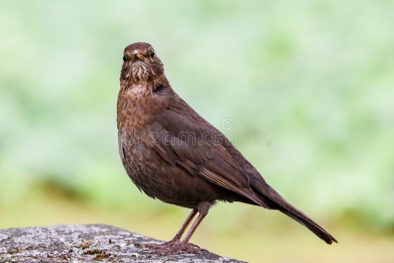 Uccello femminile del merlo che si siede sulla roccia di pietra Uccello canoro marrone nero che si siede e che canta sul fondo de fotografia stock
