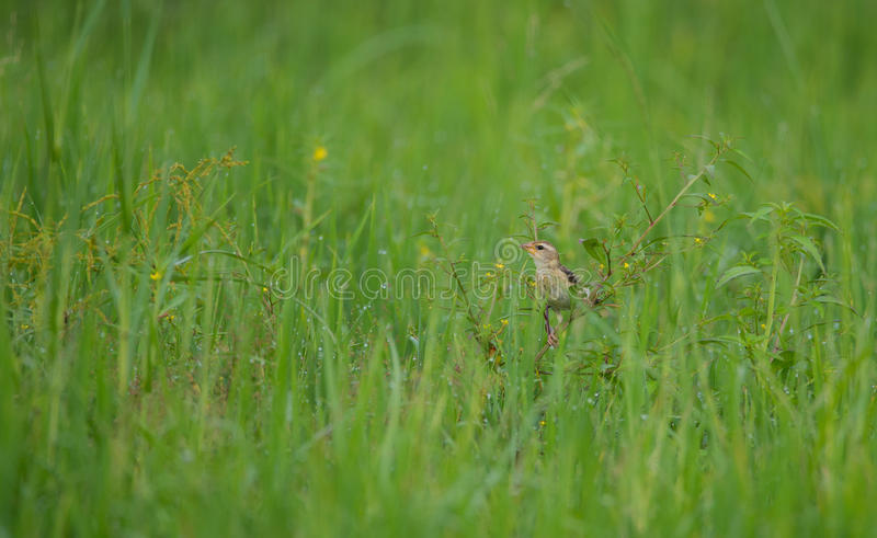 Uccello femminile del tessitore di Baya fotografie stock