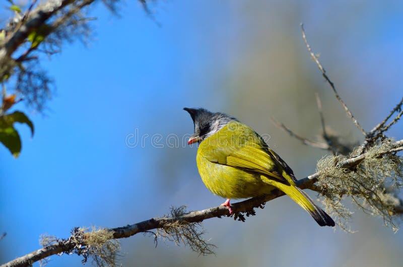 Uccello (Finchbill crestato), Tailandia fotografia stock libera da diritti