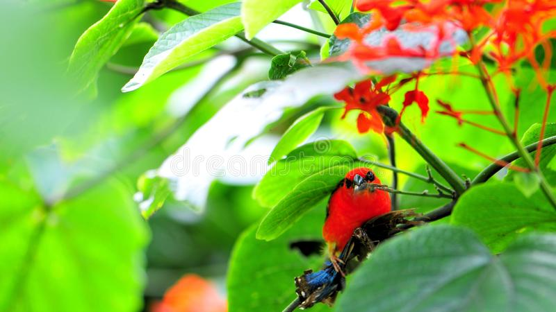 Uccello fody rosso del Madagascar che mangia farfalla fotografia stock