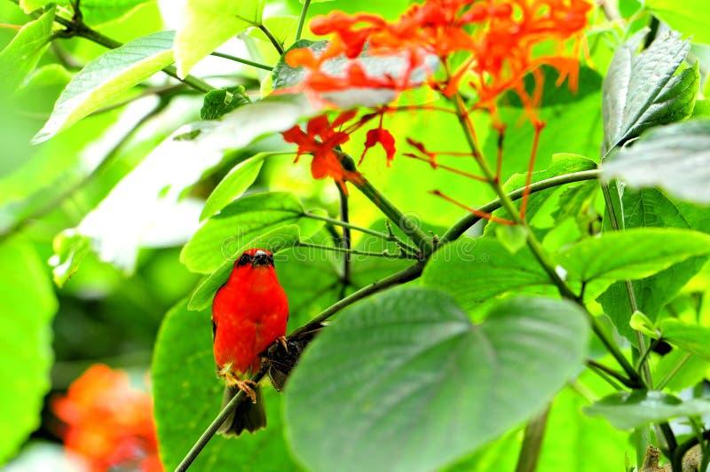Uccello fody rosso del Madagascar, farfalla di Morpho fotografie stock libere da diritti