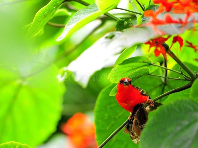 Uccello, fody rosso del Madagascar (maschio) immagine stock libera da diritti